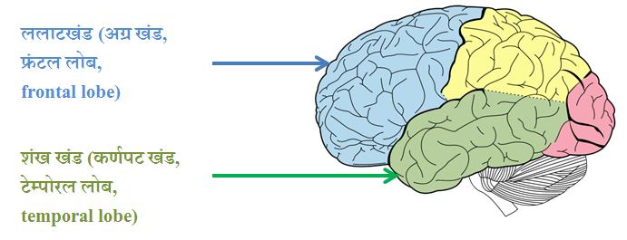 FTD brain lobes