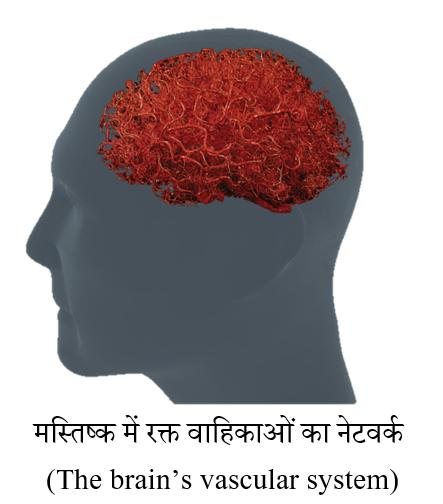brain vascular system